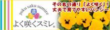 秋から春まで色とりどりのお花をたくさん咲かせる「よく咲くスミレ®」